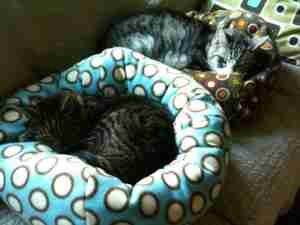 two tabby cats lying on cat beds
